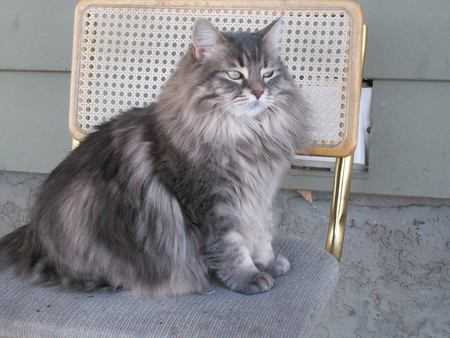 Chaircat - sitting, chairmonger, long-haired, cats