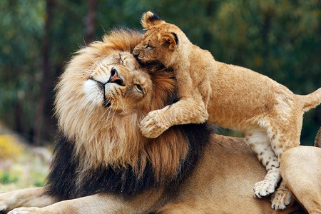 The King and I - tan and black, playing, male, mane, cub, tolerance, adult, lion