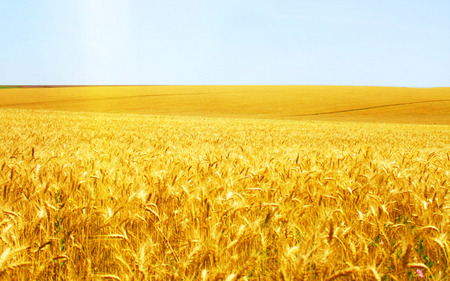 Wonderful grain field - wonderful, grain, wheat, magnificence, beauty, nature, field