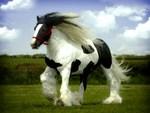 Gypsy stallion
