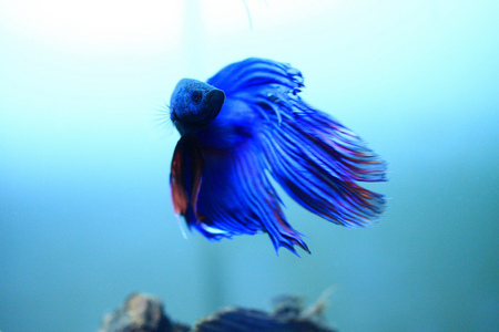 My Blue Beta Fish Amp Animals Background Wallpapers On