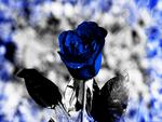 BLue.Rose.2