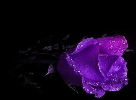 purple  rose  black