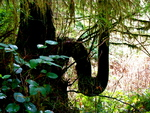 British Columbia - Vancouver Island - Rainforest