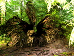 British Columbia - Vancouver Island - Rainforest 5