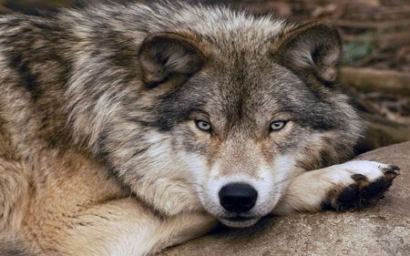 Timber Gaze - beauty, wolf, rock, wolves, nature, timber, gaze, lobo