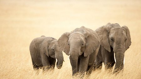 Elephant family - animal, elephant, wildlife, life