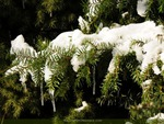 Snow Burdened Pine