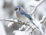 Blue jay or Kingfisher in Winter