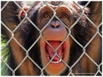 Chimp Behind a Fence