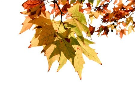 colorful leaves - autumn, colorful, colors, fall, leaves