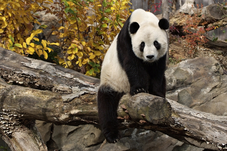 Panda.. On a Log!  - log, black, bear, white, tree, panda