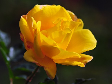 Yellow Rose Beauty - photography, bloom, flower, striking, colour