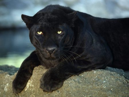 Marvelous Black Jaguar