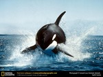 Orca breeching the water