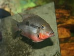 Female firemouth