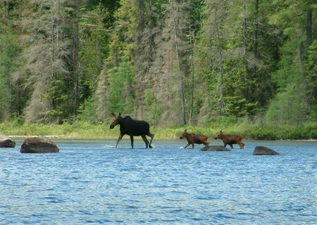 A stroll through the river - forest, moose, park, provincial, blue water, nature, algonquin, river, animals, stroll