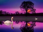 Swans in the night