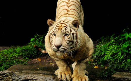 Tiger - forest, animals, nature, tiger