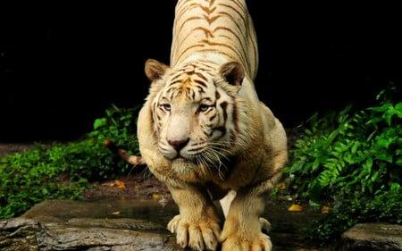 Tiger - forest, animals, nature, tiger