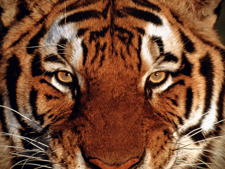 Tigar Face - stare, lookn, stripes, tigar, wild, cat, fur