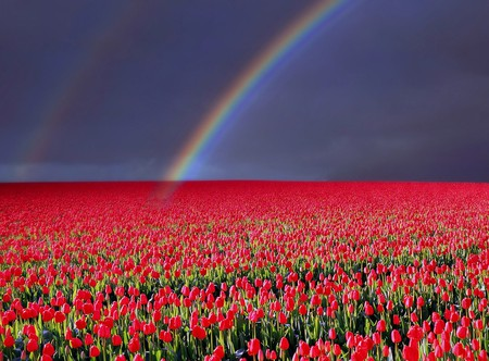 Rainbow about Tulips - scarlet, clouds, afternoon, netherlands, nice, multicolor, scenario, flowers, tulips, evening, paisage, dawn, paysage, sky, panorama, cool, purple, awesome, violet, rain, photoshop, landscape, red, colorful, gray, rainbow, beautiful, holland, europe, photography, green, fields, scenery, pink, blue, photo, amazing, plantation, colors, paisagem, plants, colours, scene, scarlat