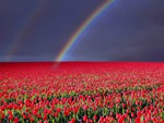 Rainbow about Tulips