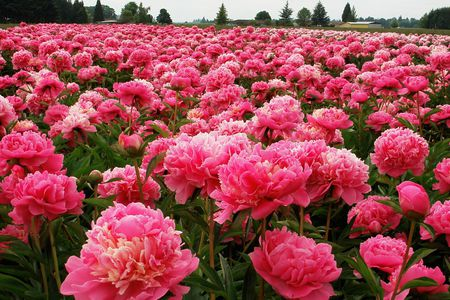 Peony Fields - pretty, flowers, fields, pink
