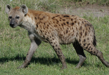 Hyena - animal, wildlife, hyena, nature