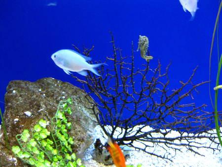 Aqua - fisn, saltwater, coral, seahorse