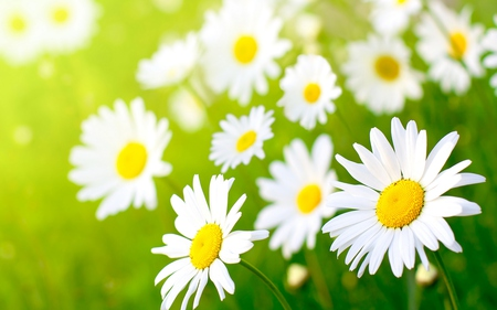 Daisies - pretty, grass, sunny, yellow, beautiful, green, bright, forever, flowers, beauty, fields, light, lovely, springtime, colors, daisies, sunshine, nature, white, daisy, field