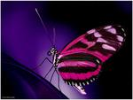Fuschia wings