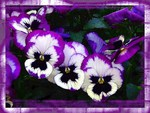 Pansy perfection