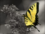 Swallowtail on black and white