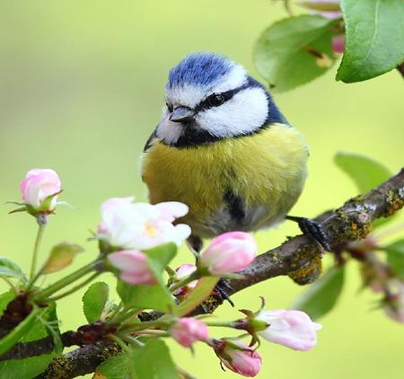 Little Bird - cute, leaves, little, bird, branch, apple blossoms