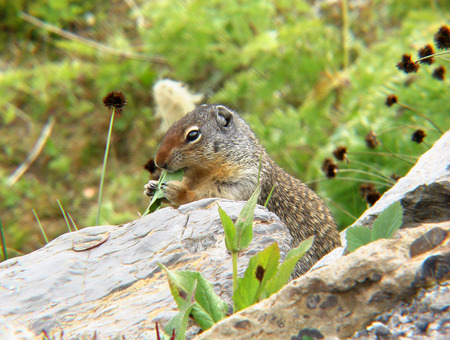 Columbian Ground Squirrel - alberta, squirrel, lunch, rodent, busy