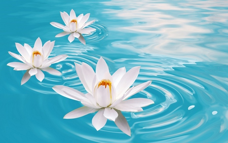 Lotus - lovely, beauty, water, blue, flowers, white, pretty, lotus, colors, beautiful, lake, nature