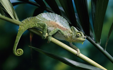 Reptiles_Chameleon_on_a_branch - tree, reptiles, chameleon, animals