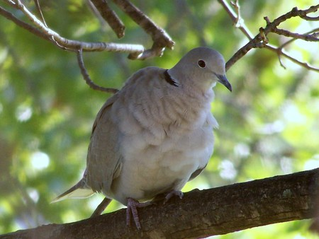 Ring neck turtle dove - pretty, lovely, dove, birds
