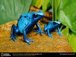 Blue Poison Dart Frogs