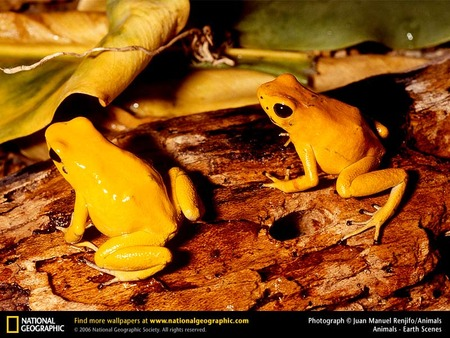 golden poison dart frogs frogs animals background wallpapers on
