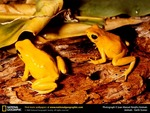 Golden Poison Dart Frogs