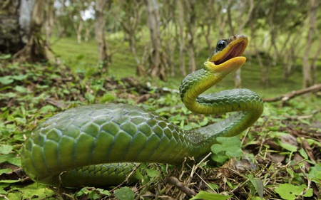 snake of Andes - snakes, green, animals, selva