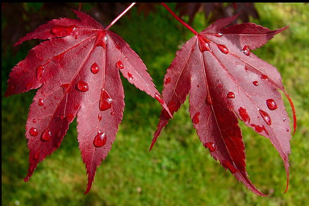Canadian Leaf - autumn, maple, water, canadian, fall, red, cool, drops, leaf, green