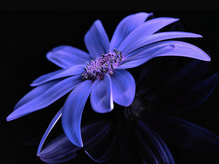 Blue Flower - flower, delicate, blue, sweet