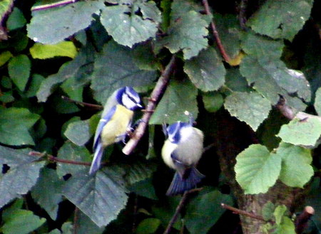 Blue-Tits - hedge, birds, twig, yellow, blue