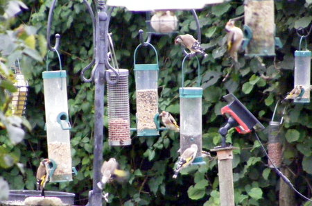 How many Goldfinches? - birds, red, feeders, gold
