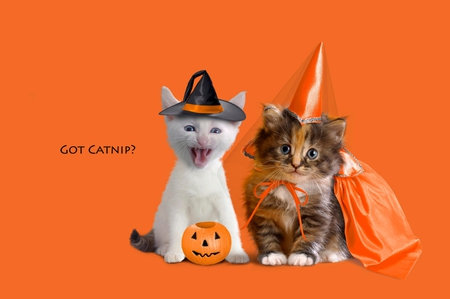 Halloween - pretty, orange, halloween, beautiful, witches hat, animal, sweet, customize, pumpkin, beauty, face, animals, lovely, kitty, pets, cat, cat face, hat, cute, paws, feline, eyes, cats, kitten, princess
