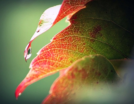 Autumn Leaf - red, amazing, orange, raindrops, beautiful, drops, leaf, photography, water, green, nature