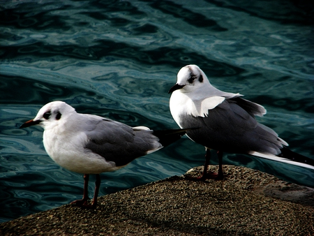 seagulls ... - beautiful, sea, birds, seagulls